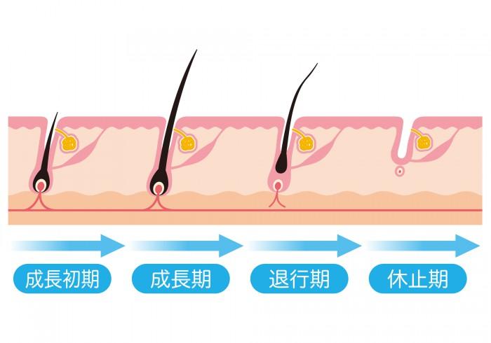 ヘアサイクルの図解